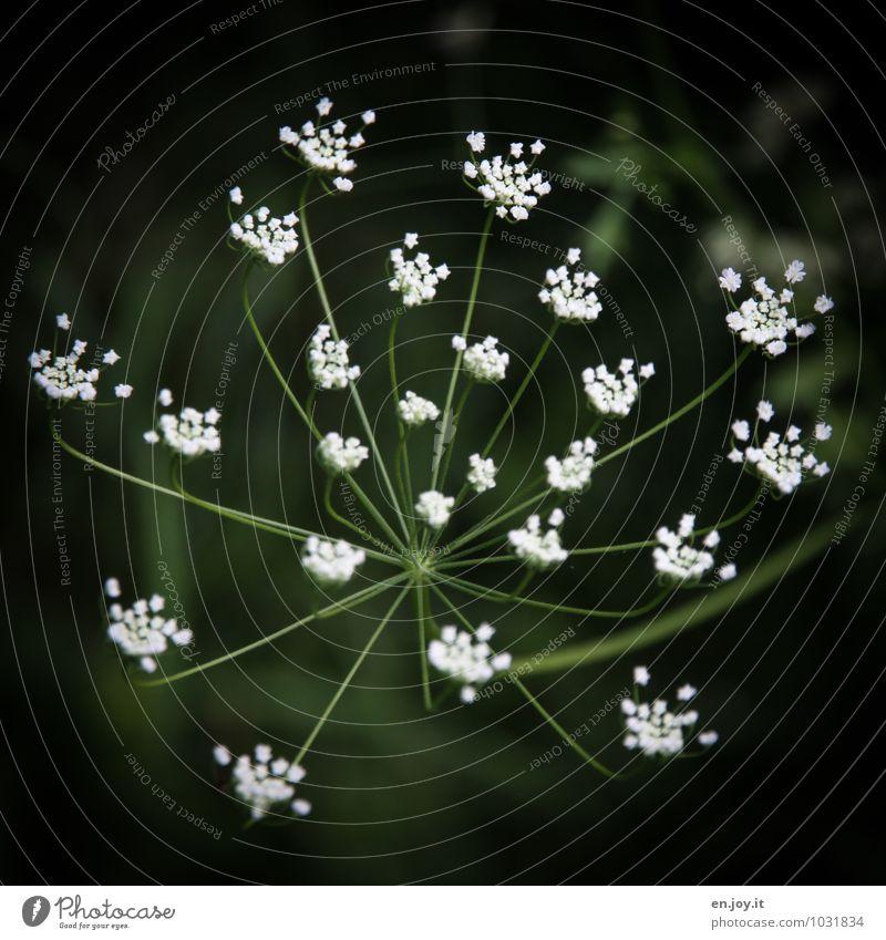 ungefragt nachgefragt Kräuter & Gewürze Trauerfeier Beerdigung Umwelt Natur Pflanze Frühling Sommer Blume Blüte Wildpflanze Kerbel Wiesenblume Garten Blühend