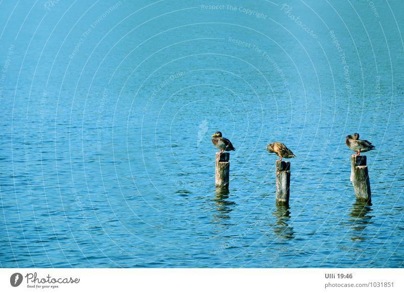 Putz– und Flickstunde. Leben harmonisch Wohlgefühl Erholung ruhig Natur Wasser Sommer Schönes Wetter Küste Seeufer Ente 3 Tier Tiergruppe hocken stehen