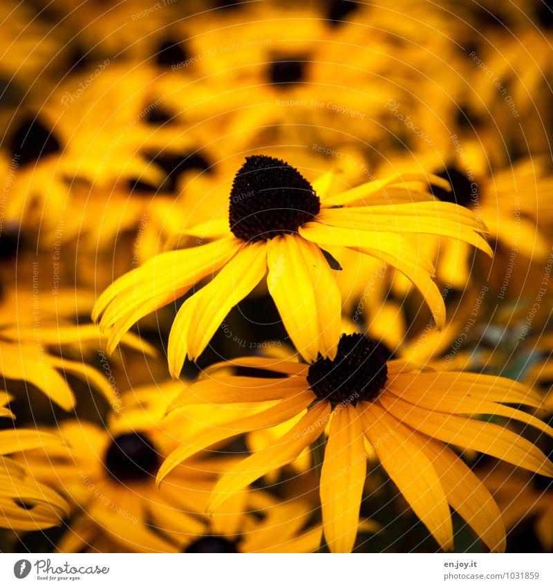 Sonnenhut Natur Pflanze Sommer Blume Freude gelb Wärme Leben Blüte Frühling Garten Wachstum Geburtstag Fröhlichkeit Lebensfreude Blühend