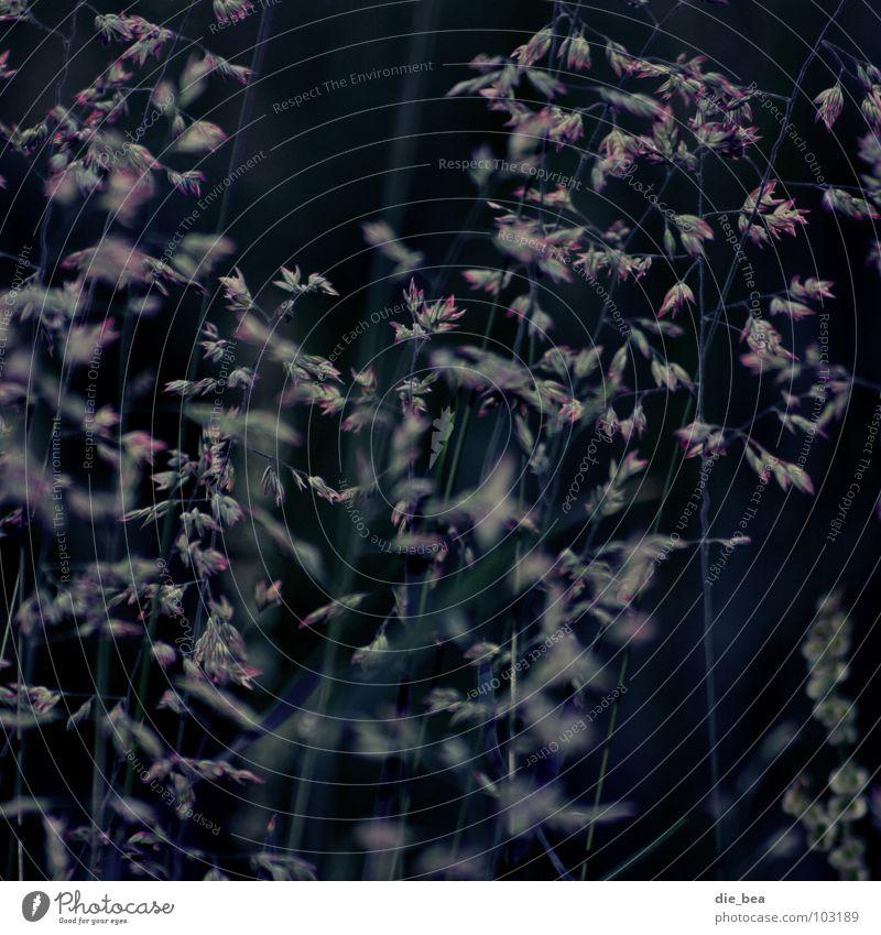Gras Wiese Abend dunkel Dämmerung Pflanze