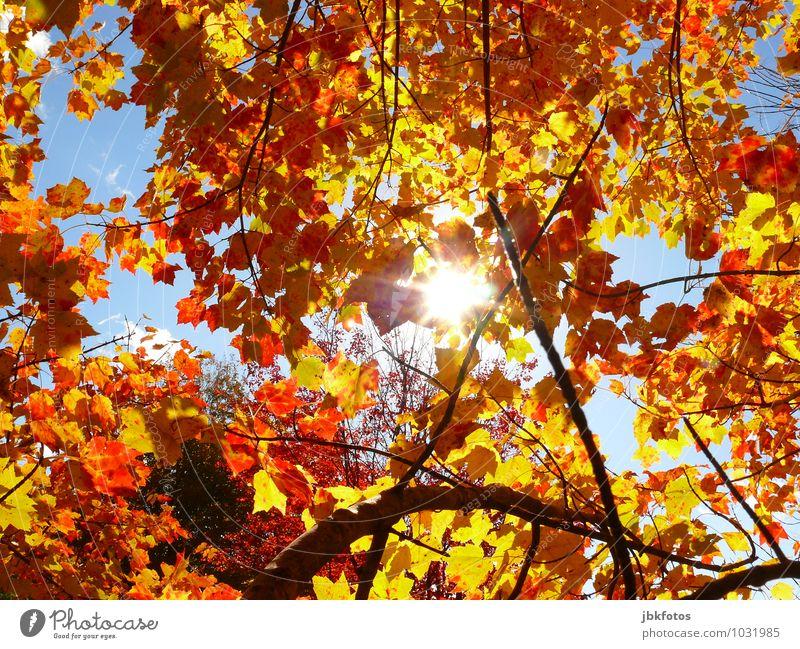 Blätterdach Umwelt Natur Urelemente Sonne Sonnenlicht Herbst Klima Schönes Wetter Wärme Pflanze Baum Nutzpflanze Garten Park Wald Gefühle Stimmung Freude Glück