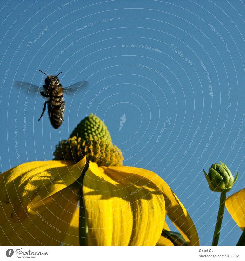 Senkrechtstarter Natur Himmel Blume grün blau Pflanze Freude schwarz gelb springen Blüte fliegen Fröhlichkeit weich Flügel Insekt