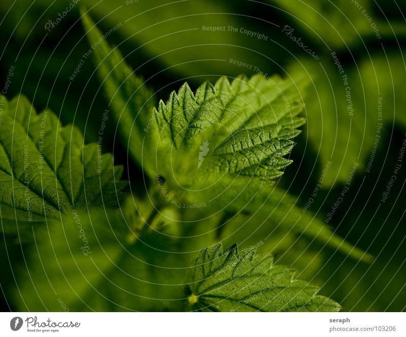 Brennnessel Pflanze Blüte Heilpflanzen Brennnesselblatt brennen wild Alternativmedizin Heilung Waldmeister Gesundheit Gesunde Ernährung Blühend Botanik