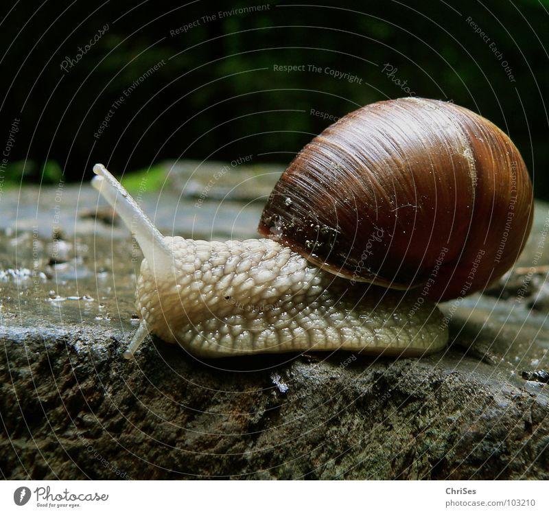 Weinbergschnecke 01 (Helix pomatia Linnaeus) Haus Tier Garten Stein Park braun Schnecke Fühler krabbeln langsam schleimig Schleim Waldwiese Weinbergschnecken