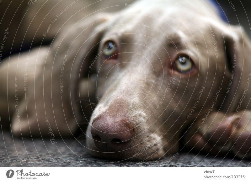 Hund Lisalotte Welpe Treue Schnauze klein süß Säugetier Bellen wau liegen Blick Müdigkeit schläfrig Nase Ohr Auge
