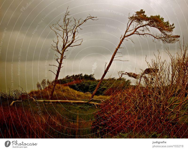 Weststrand Windflüchter Sträucher Gras Fischland-Darß-Zingst Leidenschaft Waldrand schön Baumstamm grün Wiese Sturm grau trist Strand Wolken schlechtes Wetter