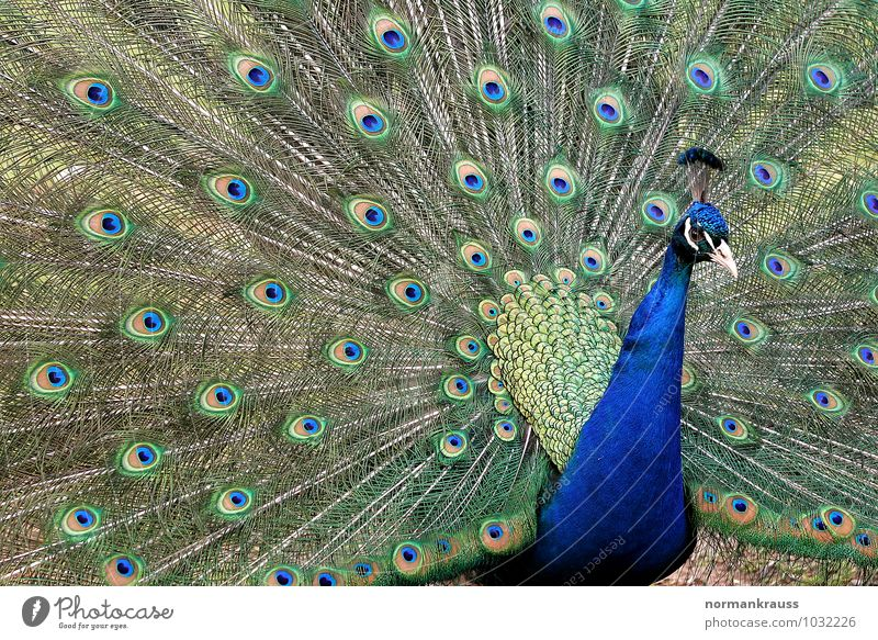 Pfau Tier Vogel Hühnervogel Pfauenfeder 1 Brunft Farbfoto Außenaufnahme Nahaufnahme Tag Zentralperspektive