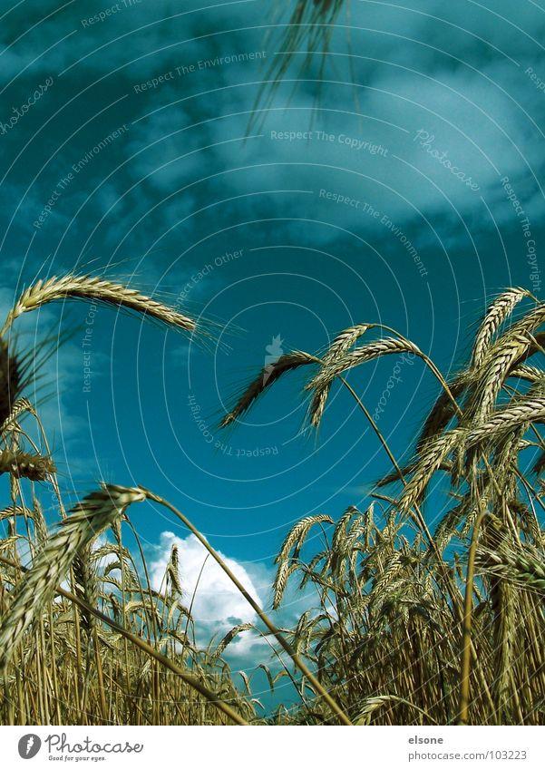 FELD Natur Himmel blau Pflanze Sommer Ernährung gelb Wege & Pfade Feld Lebensmittel gold frisch Getreide Landwirtschaft lecker Vegetarische Ernährung