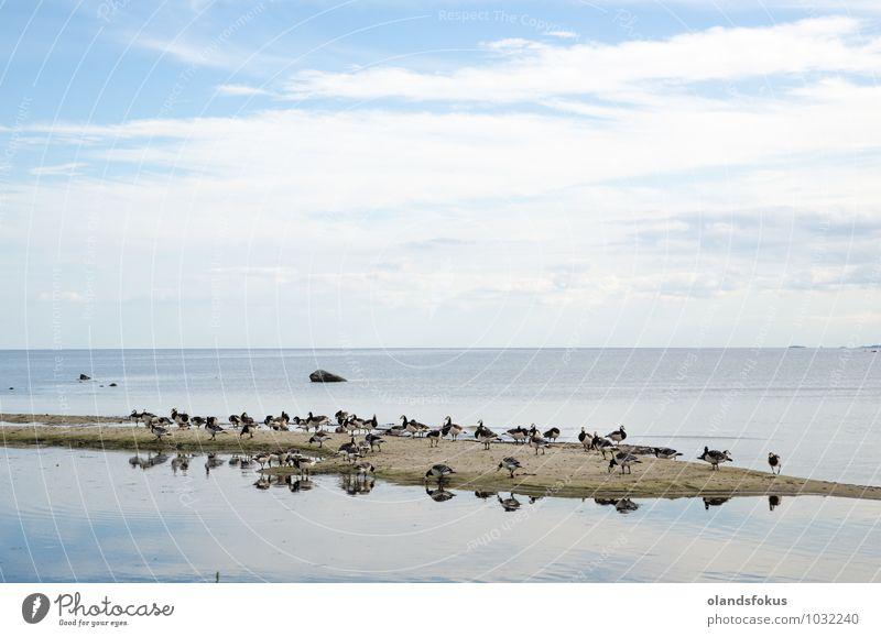 Natur Tier schwarz Umwelt Spielen Sand Vogel wild stehen Insel Europa Ostsee ökologisch füttern Schweden Entenvögel