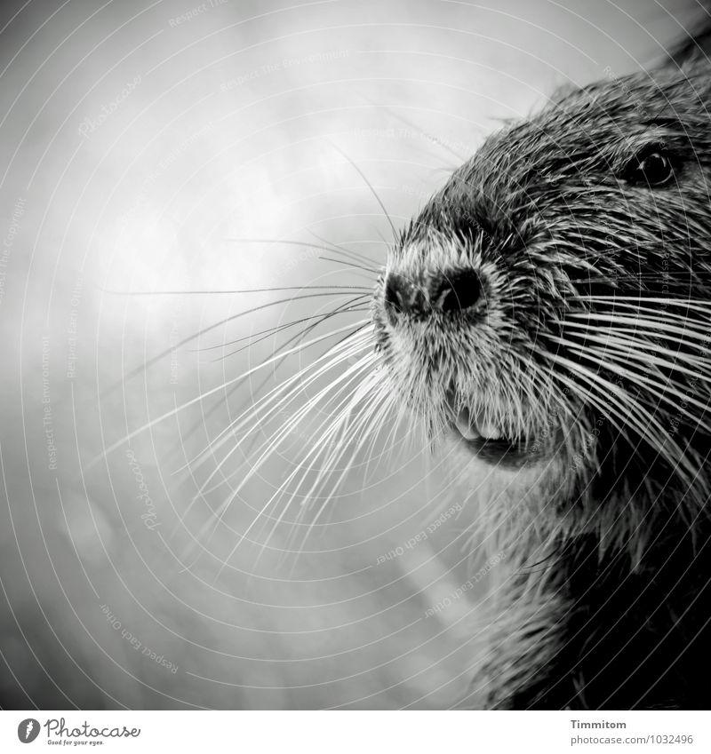Was zu trinken? Tier Tiergesicht Biberratte 1 Blick warten Freundlichkeit natürlich grau schwarz weiß Gefühle Freude Schwarzweißfoto Schwache Tiefenschärfe