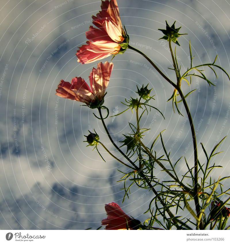 Cosmea im Abendlicht Schmuckkörbchen Blume Pflanze Blüte Abendsonne Schatten Garten Blumenbeet filigran schön Wärme Himmel Wolken