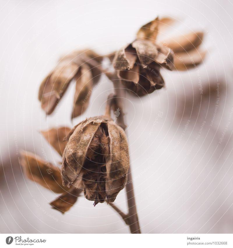 Vergänglich Natur alt Pflanze weiß Winter Traurigkeit natürlich grau außergewöhnlich braun Stimmung trist Vergänglichkeit rund Hoffnung Trauer