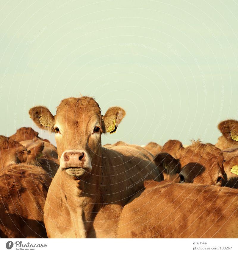 Rindviecher mehrere Ohr Neugier Landwirtschaft Kuh Amerika Weide Tier Säugetier Dänemark Vieh Landleben