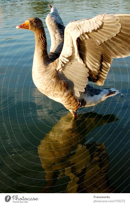Arro-Ganter Gans Vogel Schnabel See Reflexion & Spiegelung flattern Brunft schön Tier Flügel Feder Wasser Ente Körperhaltung schnattern Natur fliegen frei