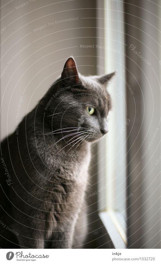 le chat.... Fenster Haustier Katze Hauskatze 1 Tier beobachten hocken Blick Neugier Gefühle Interesse Farbfoto Innenaufnahme Nahaufnahme Menschenleer