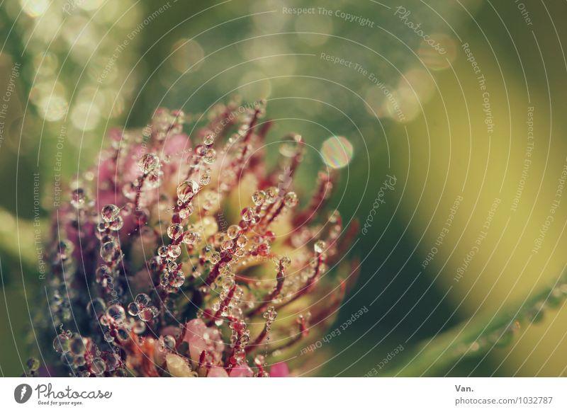 Tröpfcheninvasion Natur Pflanze Wassertropfen Herbst Gras Blatt Blüte Grünpflanze Klee Garten frisch nass grün rosa Tau Morgen Farbfoto mehrfarbig Außenaufnahme