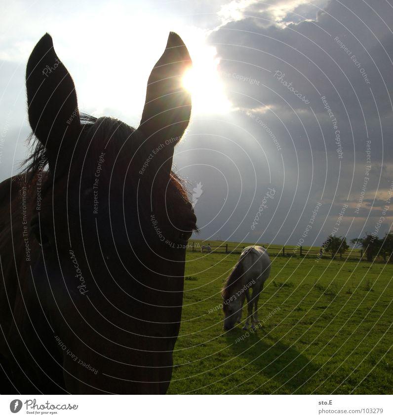fast ein esel Pferd Wiese Stall Bauernhof Dorf ländlich Zaun grün Licht Durchbruch Tier schön Schnauze Pferdeschnauze groß Mähne Fell glänzend Wolken