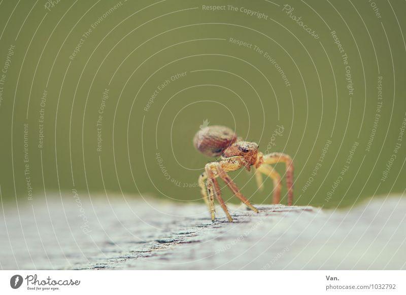 Tänzchen gefällig?² Natur Tier Wildtier Insekt Spinne 1 Holz gelb grün Farbfoto Gedeckte Farben Außenaufnahme Nahaufnahme Makroaufnahme Menschenleer