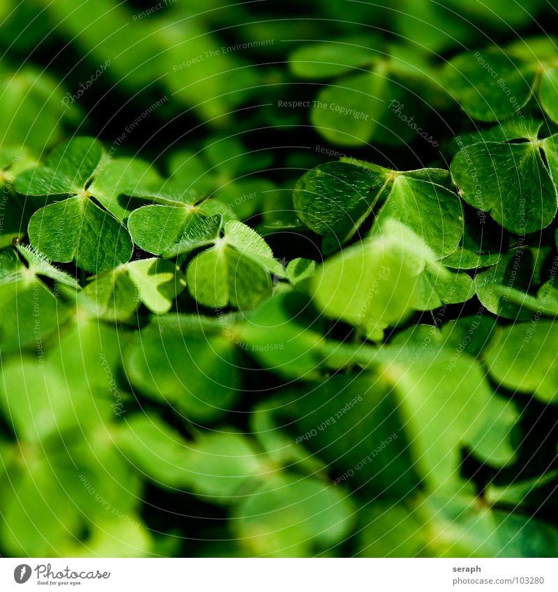 Wilder Klee Natur grün Pflanze natürlich Glück Symbole & Metaphern Botanik Alternativmedizin Klee Heilpflanzen Kleeblatt Glücksbringer Volksglaube Glücksklee Sauerklee dreiblättrig