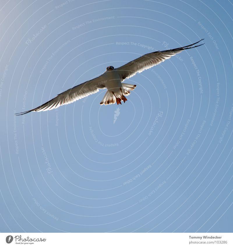 Mövenpic III Möwe Vogel himmelblau Frieden Sommer Meer See Schweben Segeln Tiefflieger Leichtigkeit Unbeschwertheit Nahrungssuche Luftverkehr flugtauglich