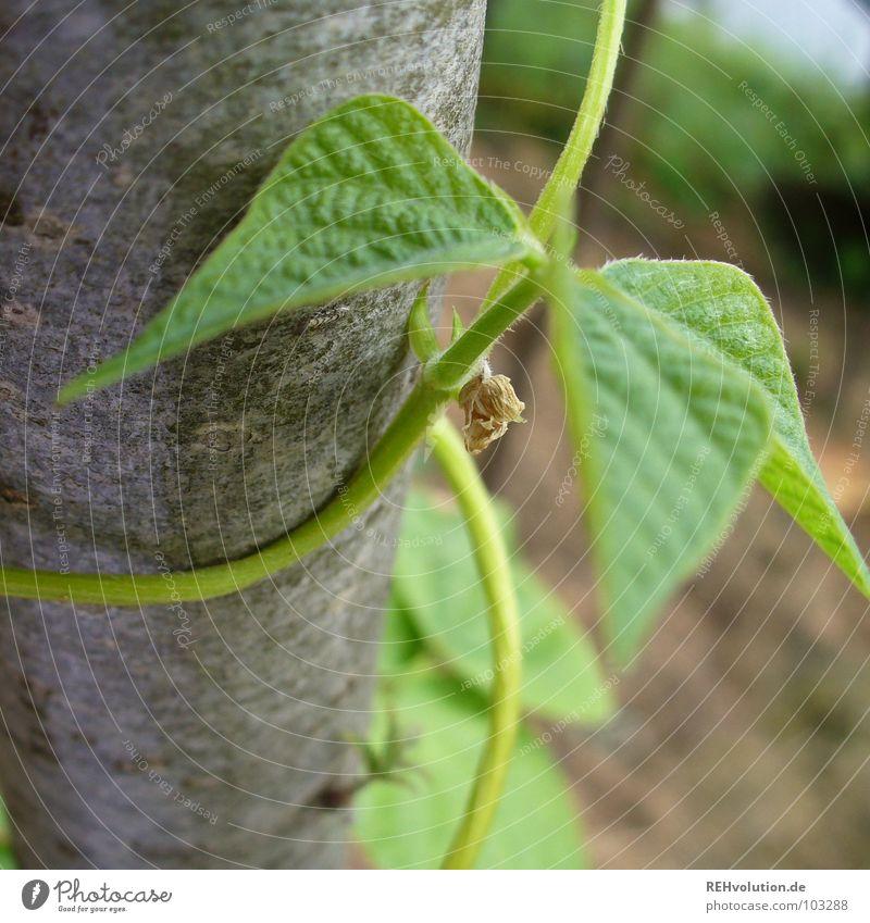 Bohnen in den Augen Wachstum festhalten Blatt Gemüsegarten Spirale Pflanze grün Baumrinde Kletterpflanzen Sommer Garten Park Baumstamm wickeln Schlingpfanzen