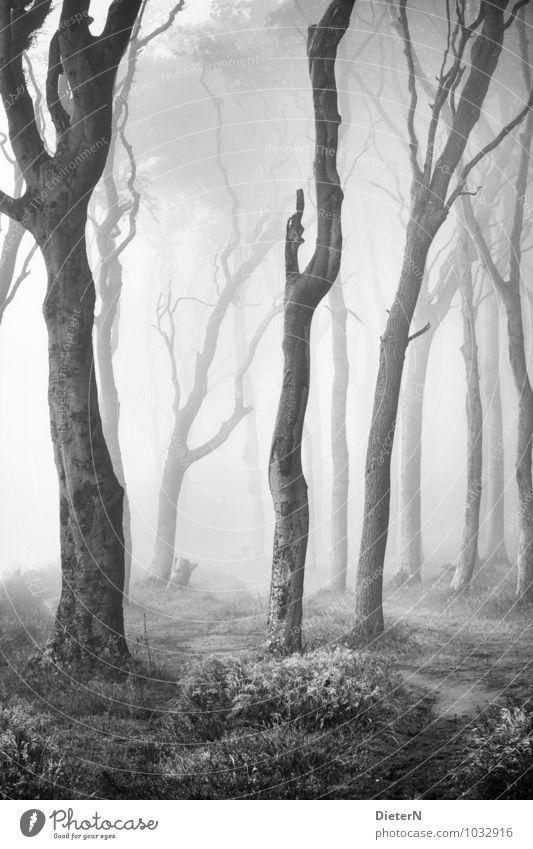 Gespensterwald Strand Meer Sand Frühling Klima Wetter Nebel Baum Gras Wald Ostsee grau schwarz weiß Schwarzweißfoto Außenaufnahme Menschenleer