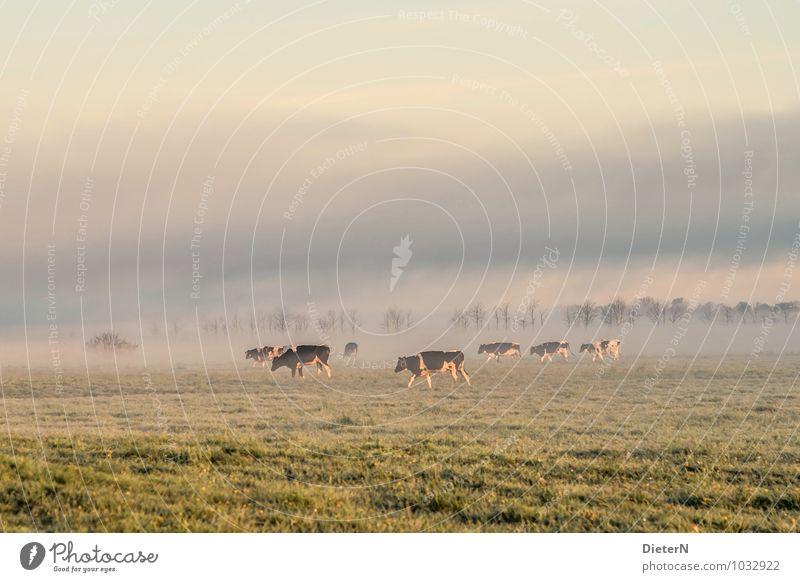 Bodennebel Himmel Natur grün Baum Landschaft Wolken Wiese Gras grau Wetter Nebel gold Schönes Wetter Kuh Nutztier Herde