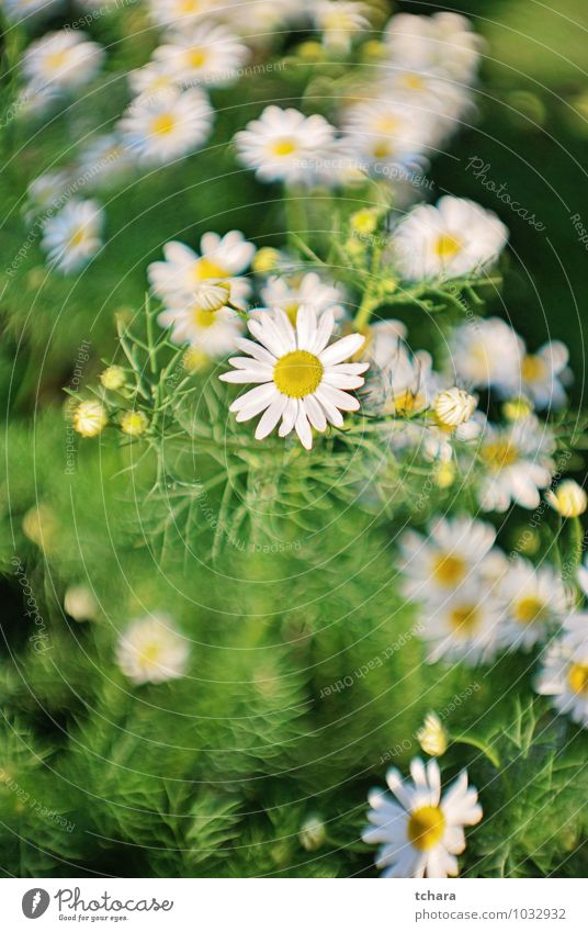 Natur Pflanze schön grün weiß Sommer Blume gelb Wiese Liebe Gras Blüte Frühling Gesundheit Garten Sträucher