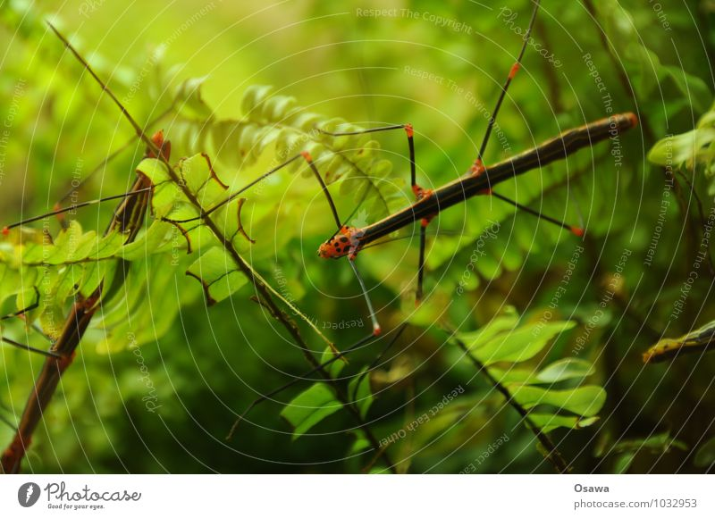 Stabheuschrecke Natur grün Blatt Tier Beine Insekt Urwald Fühler Farn Echte Farne Heuschrecke