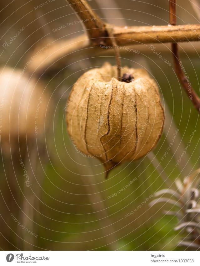Leer Natur Pflanze Herbst Nutzpflanze Physalis Lampionblume Garten hängen dehydrieren exotisch schön nah natürlich rund trocken braun grün Zufriedenheit