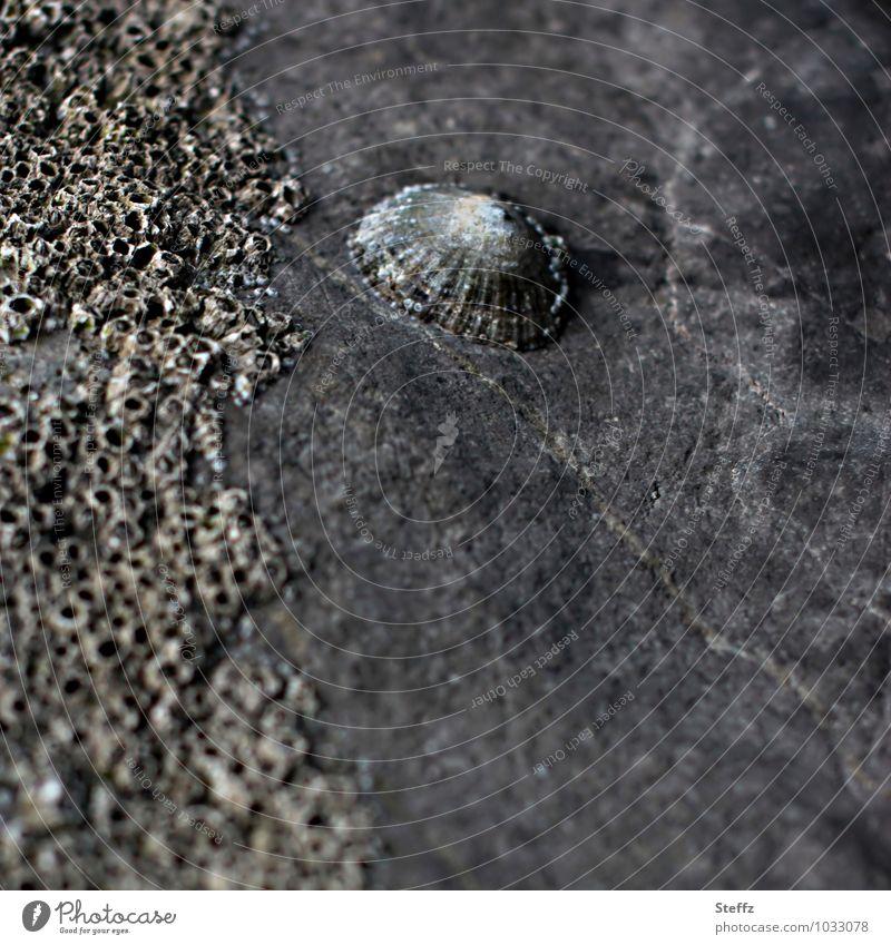 retro | versteinert Natur Stein alt grau steinig Steinblock Muschelschale Muschelform Fossilien fossil Urzeit Gedeckte Farben Außenaufnahme Menschenleer