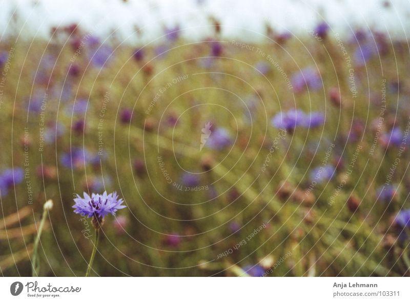 mohnblume .. äh kornblume Natur Blume blau Sommer Blüte Feld violett Mohn Samen