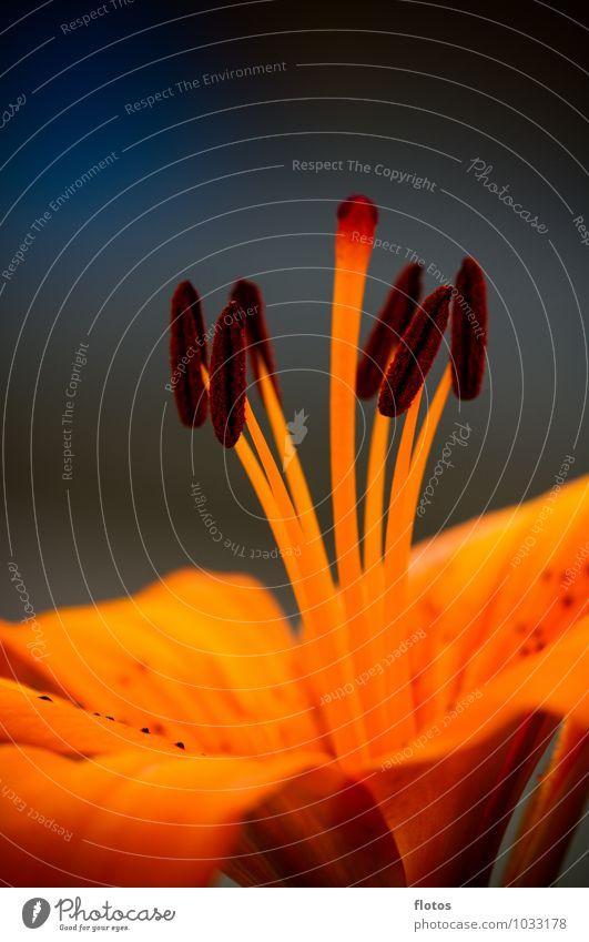 Feuer-Lilie Natur Pflanze Sommer Blume Blüte Topfpflanze Garten Blühend Duft natürlich schön blau braun gelb grau orange schwarz Lilien Farbfoto Außenaufnahme