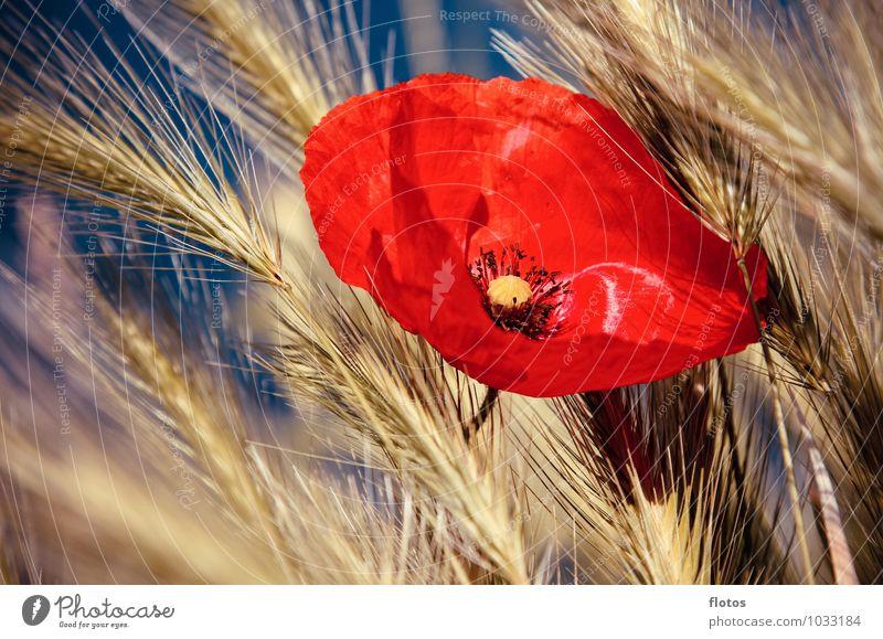 kitschig =) Natur blau Pflanze schön Sommer rot Blume gelb Wärme Gras Blüte natürlich orange Feld frisch Blühend