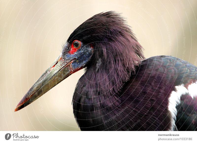 Regenstorch Tier Vogel Abdimstorch Schnabel Storch Schreitvogel Vogelportrait 1 stehen elegant violett Farbfoto Außenaufnahme Nahaufnahme Tag Zentralperspektive