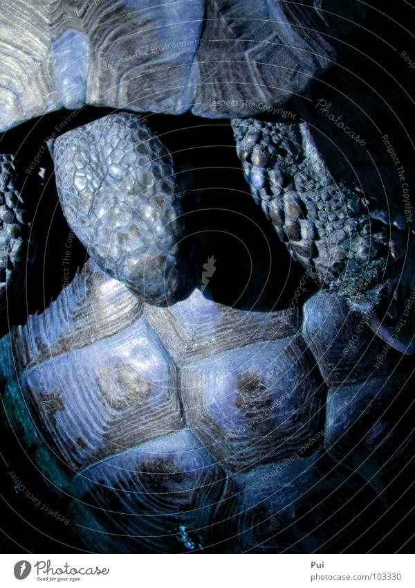 blaue liebe Natur Tier dunkel Schildkröte gepanzert