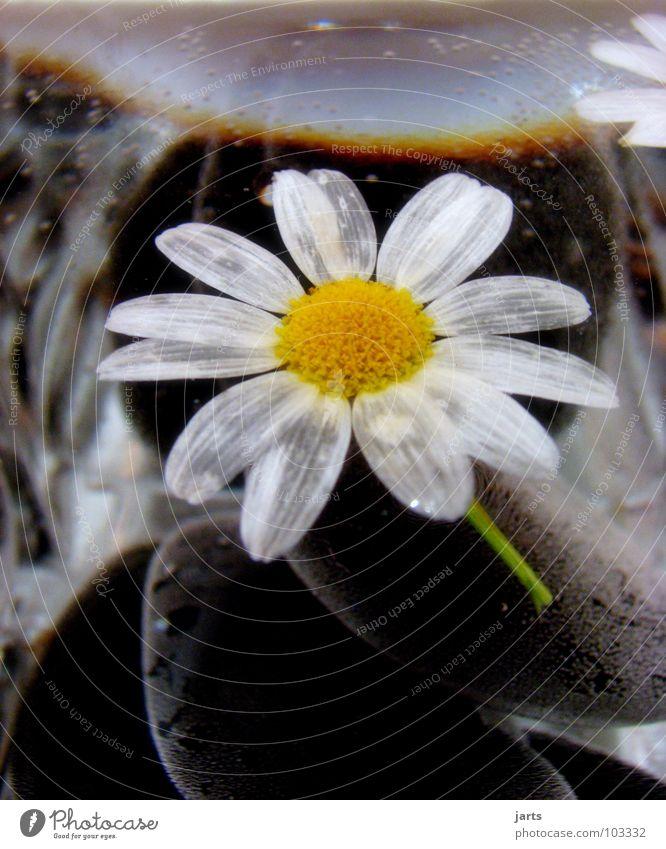 Wasserblume Wasser Blume Blüte Stein Glas Margerite Mineralien
