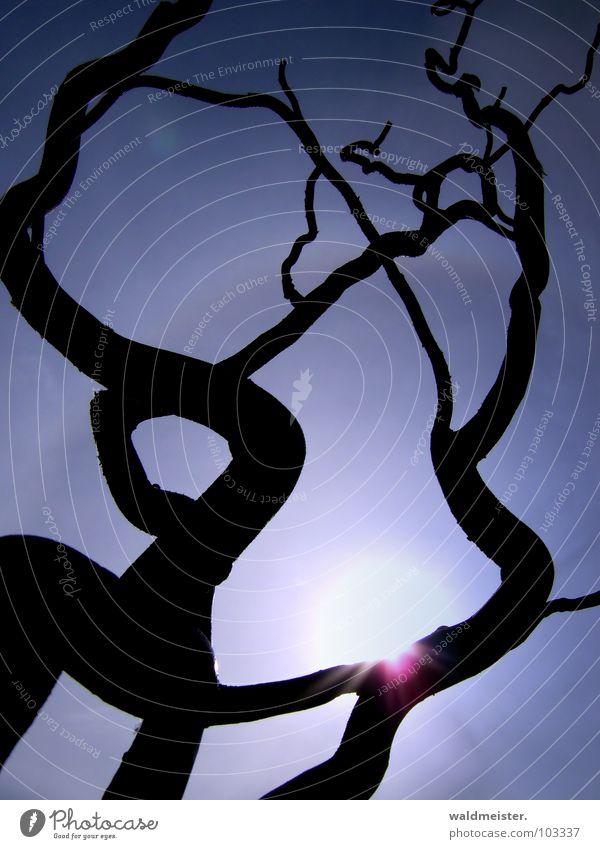 Korkenzieherweide Ast Windung gekrümmt krumm Sonne Himmel Gegenlicht Silhouette Schatten Licht Lichtkreis Strahlung Strukturen & Formen Korkenzieher-Weide