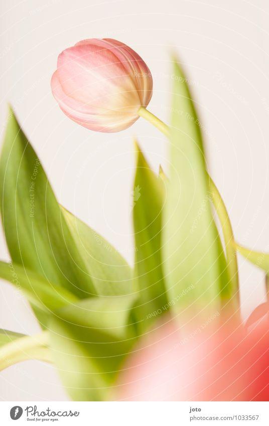 tulipa II Pflanze schön Blume Blatt Leben Blüte Frühling Feste & Feiern rosa Wachstum Dekoration & Verzierung Idylle Geburtstag Blühend Vergänglichkeit