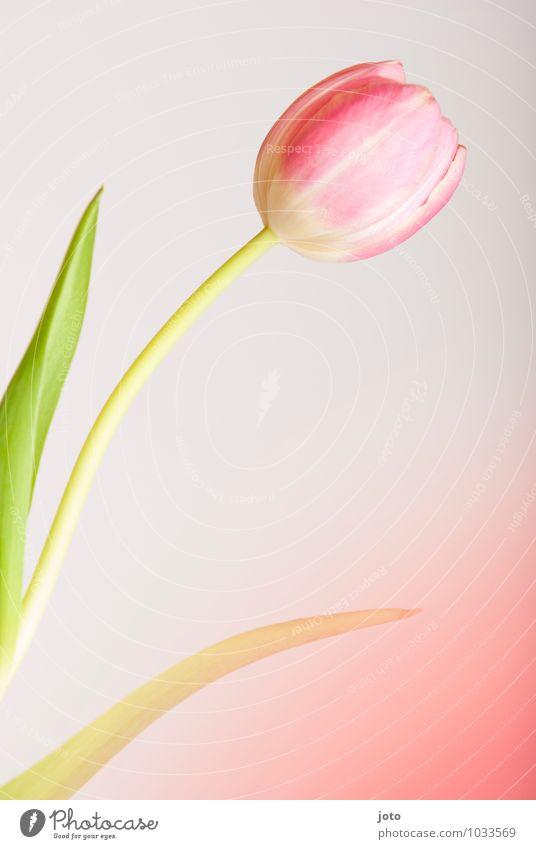 tulipa Pflanze schön Blume Blatt Leben Blüte Frühling rosa Wachstum Dekoration & Verzierung Idylle Geburtstag Blühend Vergänglichkeit einzigartig