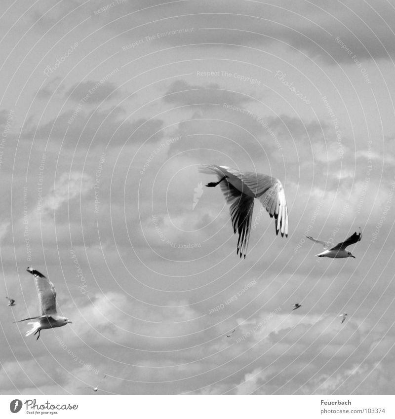 Ratten des Meeres Schwarzweißfoto Außenaufnahme Blick nach oben Ferien & Urlaub & Reisen Ausflug Freiheit Kreuzfahrt Luftverkehr Natur Tier Himmel Wolken Wetter