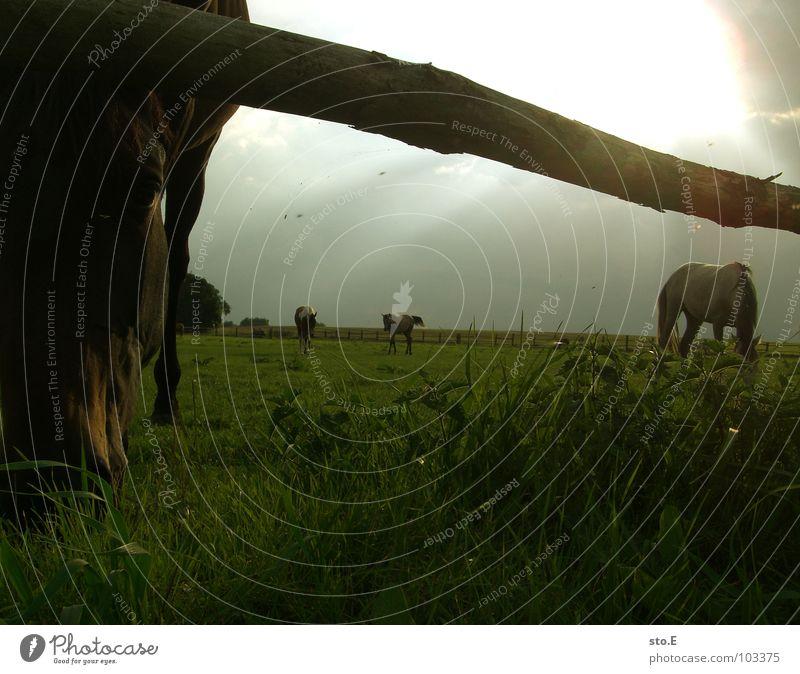annähernd ein nasenbär Pferd Reitsport Wiese Stall Bauernhof Dorf ländlich Zaun grün Licht Durchbruch Tier schön Schnauze Pferdeschnauze groß Mähne Fell