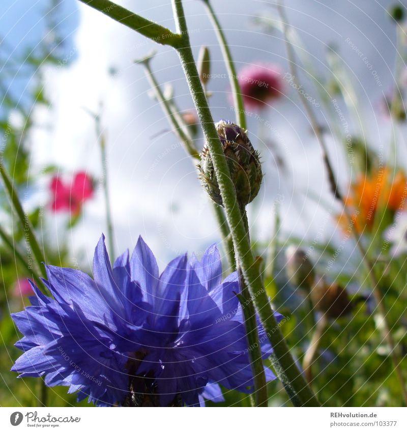n Blööömsche Blume Wiese Wolken Gewitterwolken Wachstum Froschperspektive streben bedrohlich Pflanze Blüte Sommer mehrfarbig frisch kalt Gegenteil