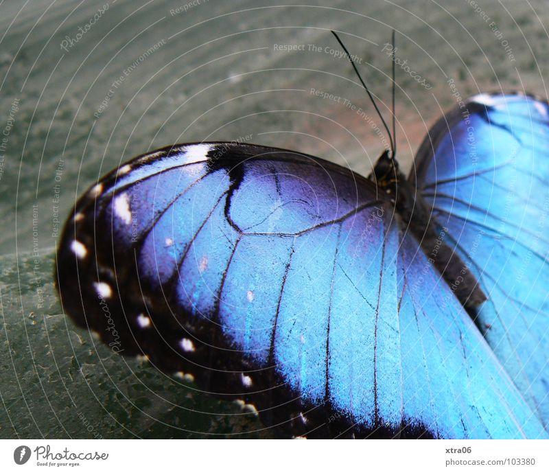 himmelsfalter... himmelblau Schmetterling Fühler herzförmig Muster Insekt zart Holz grau Blauverlauf grell Leben klein schwarz Fairness Sommer springen Flügel