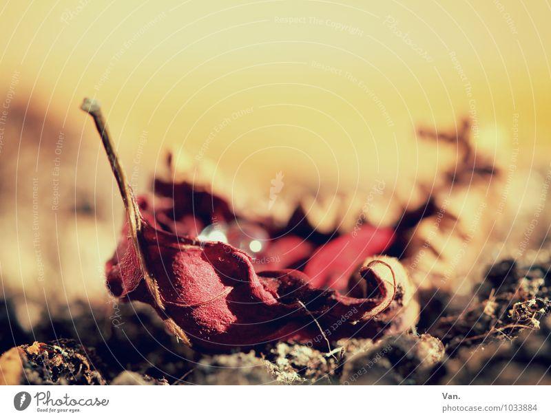 Schiffchen Natur Pflanze Erde Sommer Blatt welk trocken Wärme gelb rot Farbfoto Gedeckte Farben Innenaufnahme Nahaufnahme Detailaufnahme Makroaufnahme