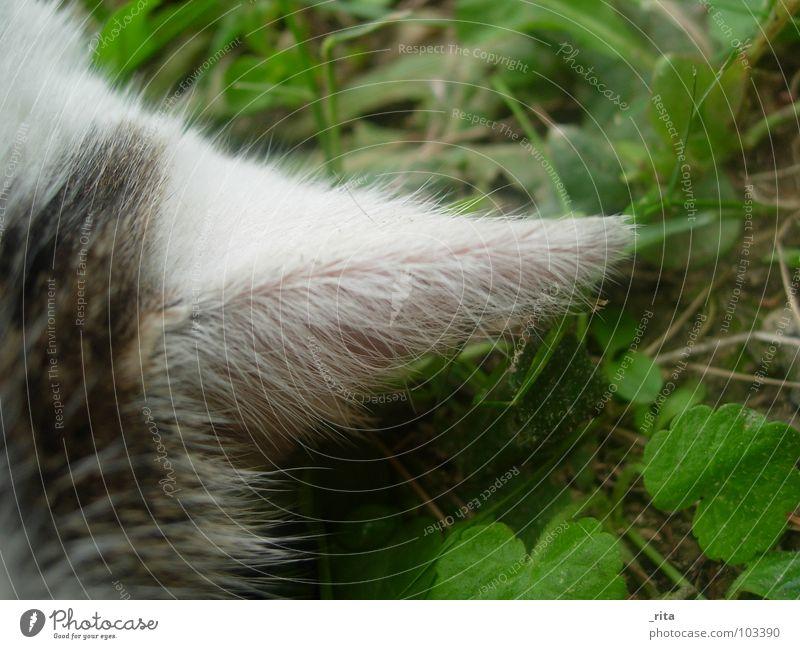 bin ganz ohr weiß grün schwarz Wiese Gras Katze schlafen liegen Ohr Fell hören Wachsamkeit Säugetier Hauskatze
