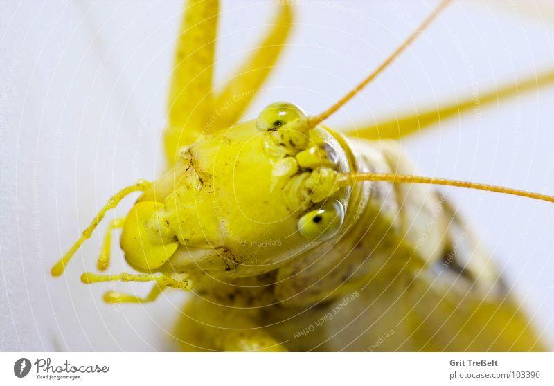 Heupferdl Grünes Heupferd Heuschrecke grün gelb Sommer Wiese Feld Insekt fliegen Blick Auge