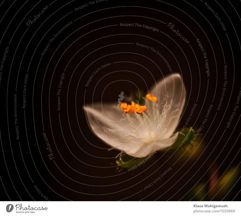 Flinker Heinrich 1 Natur Pflanze Blume Blüte Topfpflanze Tradeskantie Dreimasterblume Blühend gelb grün rot schwarz weiß Mikrofotografie Farbfoto Nahaufnahme