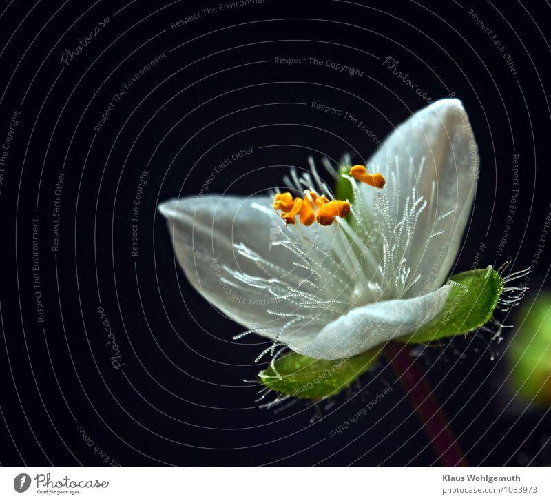 Flinker Heinrich 2 Natur Pflanze Blüte Grünpflanze Topfpflanze Tradeskantie Dreimasterblume Blühend gelb grün rot weiß Mikrofotografie Farbfoto Nahaufnahme
