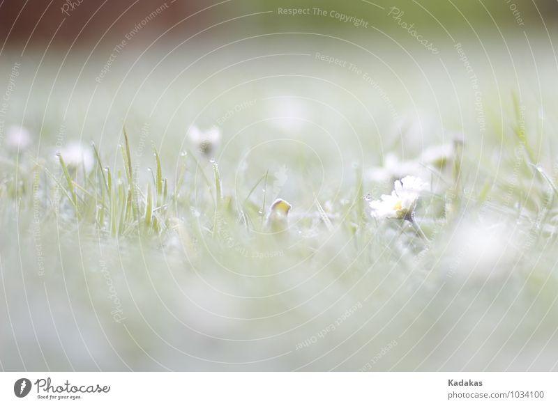 Gekühlte Idylle Natur Pflanze Wassertropfen Winter Eis Frost Blume Gras Gänseblümchen Garten frisch kalt natürlich schön weiß Nostalgie rein Umwelt Nahaufnahme